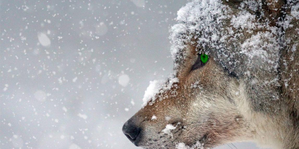 En varg i snö
